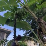 バナナ収穫